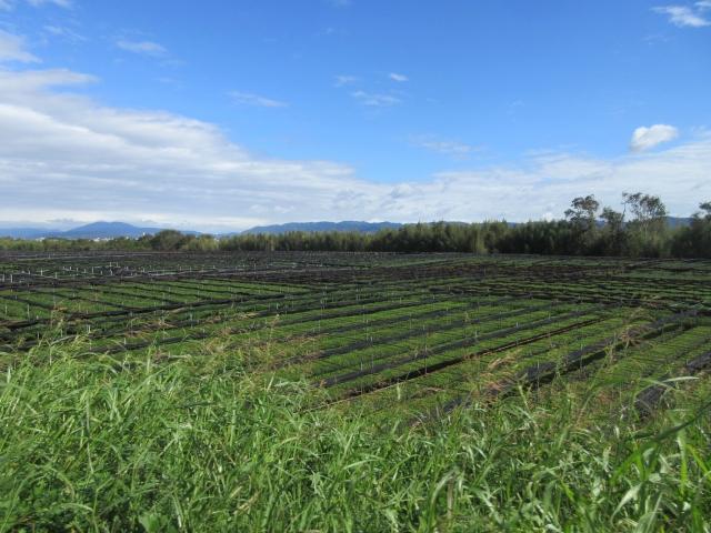 河川敷茶畑