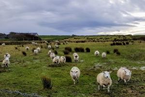 sheepstreedagh0118