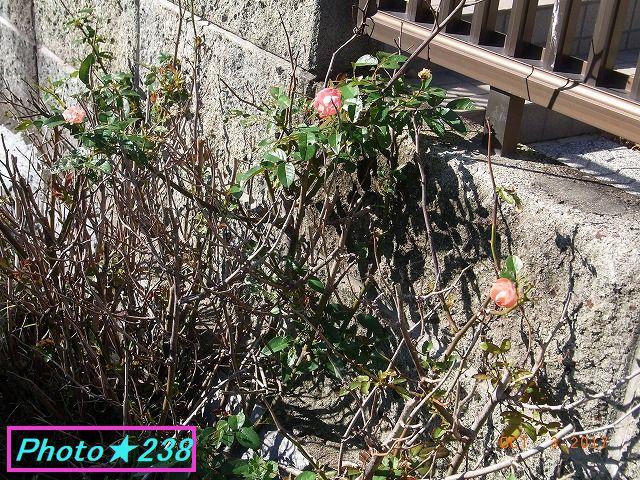 1003バラの花