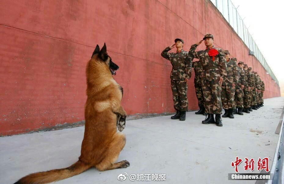 U^ェ^U中国人民武装武力警察が軍犬に敬礼(`・ω・´)ゞ