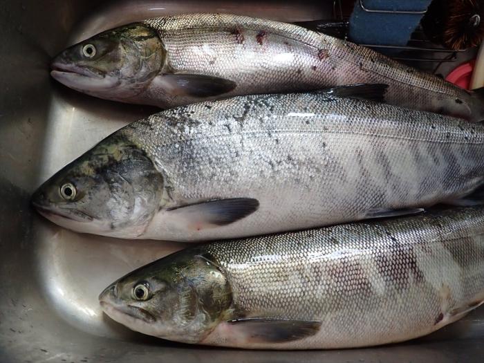 鮭メス3匹