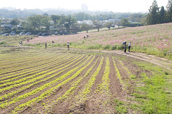愛知牧場コスモス畑の風景