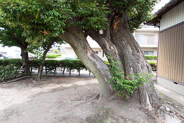 万町神明社大木