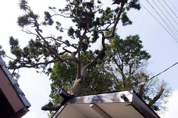 中村本町石神社松の木
