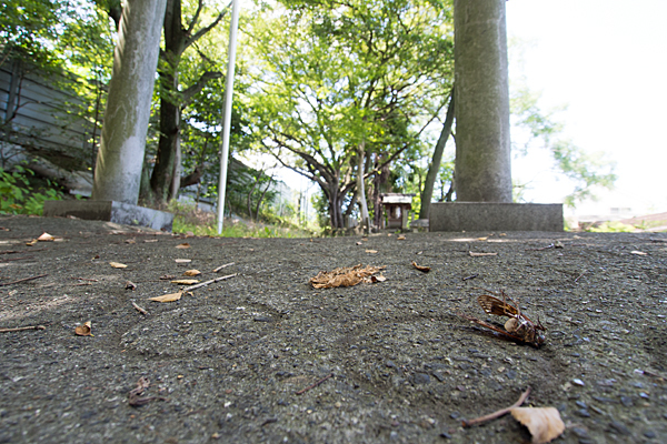 岩塚神明社地面のアブラゼミ