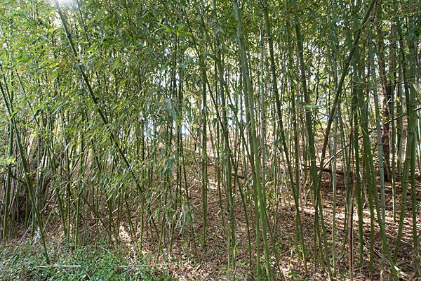 大山祇神社古墳の竹藪