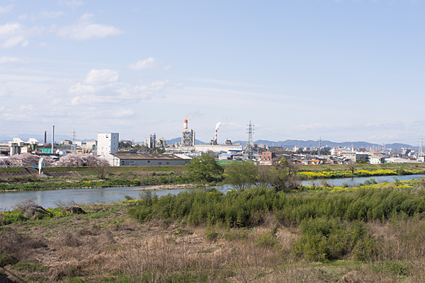 庄内川桜と菜の花