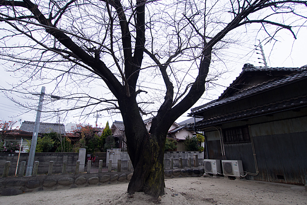 昭明町神明社桜の木