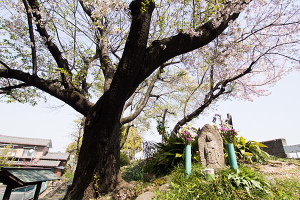 牛毛神社石仏と桜