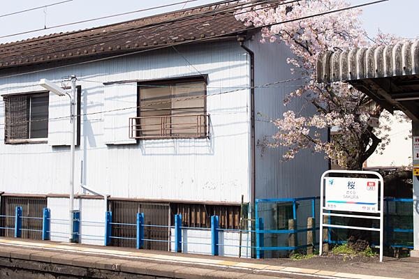 桜駅ホームの桜