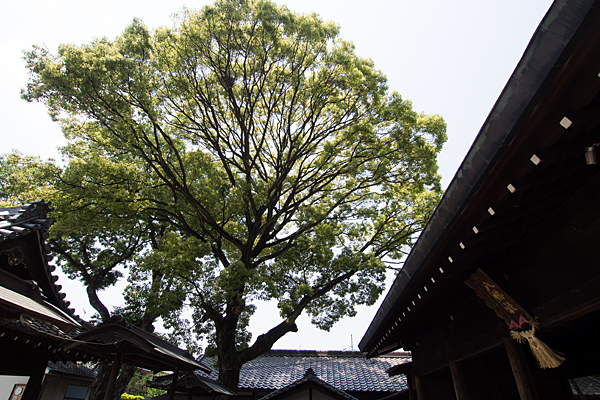 牛立八幡社神木