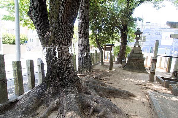 丸屋八幡神社カヤの木かも