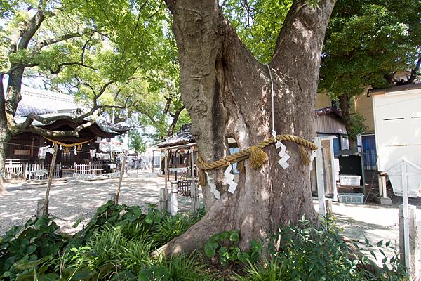 田光八幡社和合の木