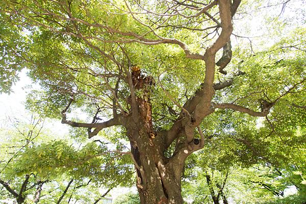 烏森八幡社境内の木