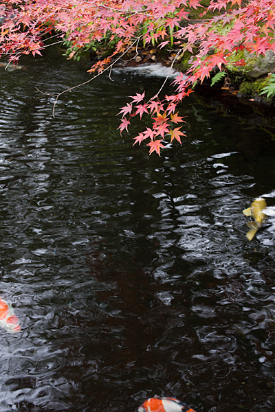 池と鯉と紅葉モミジ