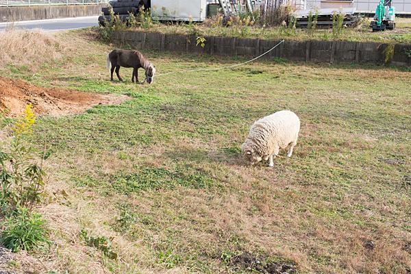 ポニーと羊