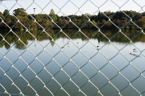 池と金網と鴨