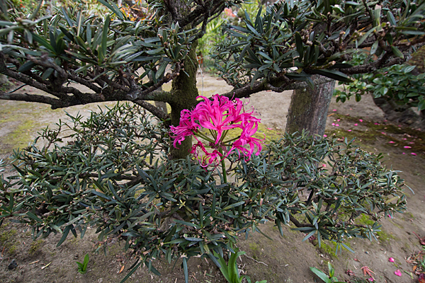 冬のピンクの花