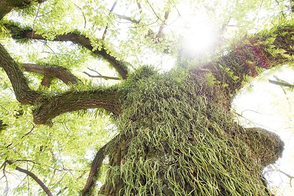 春日神社楠の風景