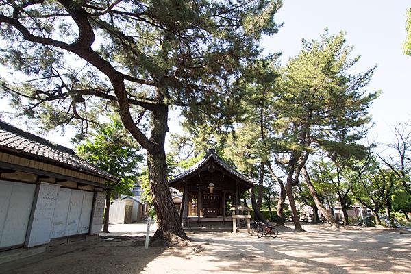 八家町神明社拝殿とクロマツ