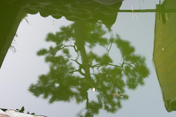 太閤厳島社池に映る松