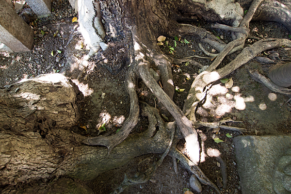 大道米運龍神木の根っこ