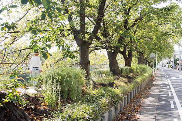 夏の終わりの桜並木