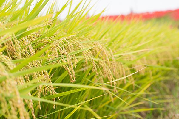 彼岸花と稲