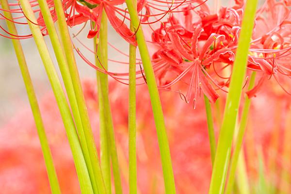 彼岸花の茎の緑