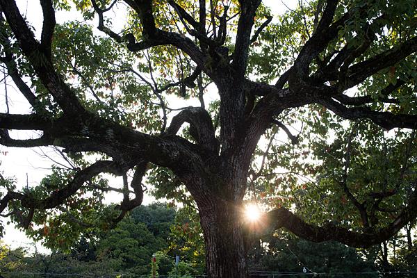 生玉稲荷神社御神木と太陽