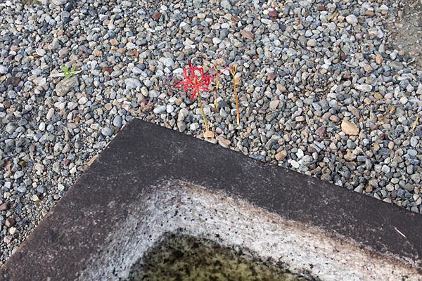 生玉稲荷神社境内の彼岸花