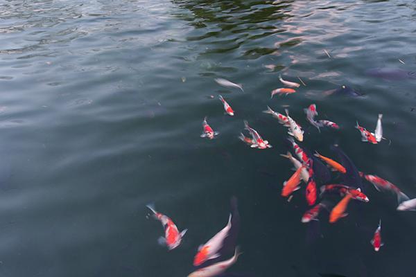 真清田神社池の鯉