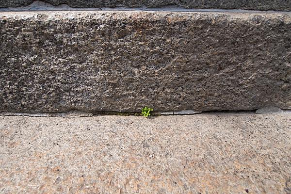 石段と芽吹き