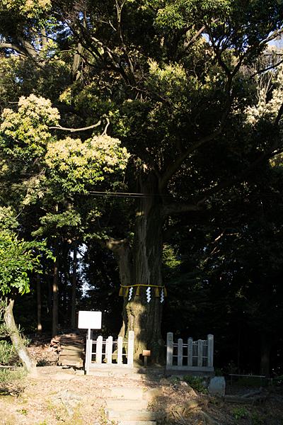石作神社保存樹木のツブラジイ
