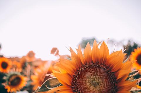 10月の向日葵 (67)