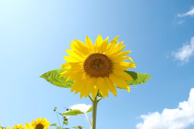 10月の向日葵 (134)
