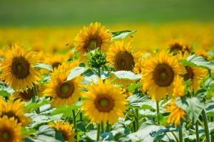 1sunflower-1516292__340.jpg