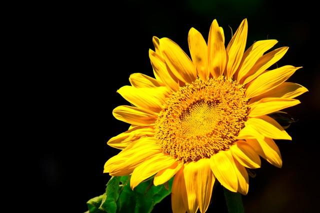10月の向日葵 (130)