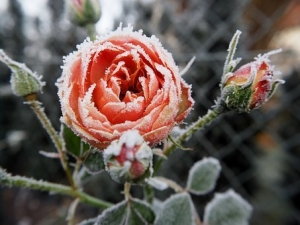 rose-2852773__340.jpg