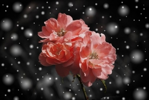 rose-572757__340.jpg