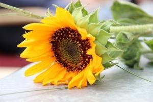 sun-flower-2470367__340.jpg