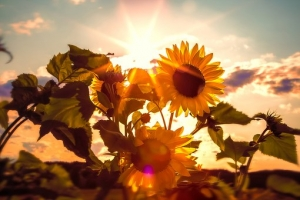 sun-flower-591076__340.jpg