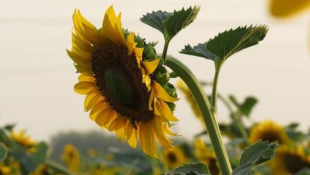 10月の向日葵 (147)