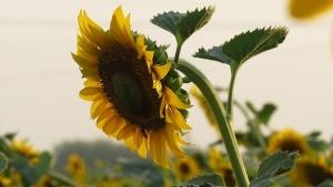 sunflower-1366797__340.jpg