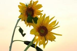 sunflower-1557108__340.jpg