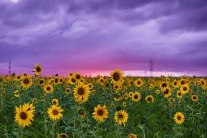 sunflower-2641806__340.jpg