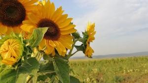sunflower-2691845__340.jpg