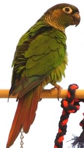 鳥天国のお気楽インコ