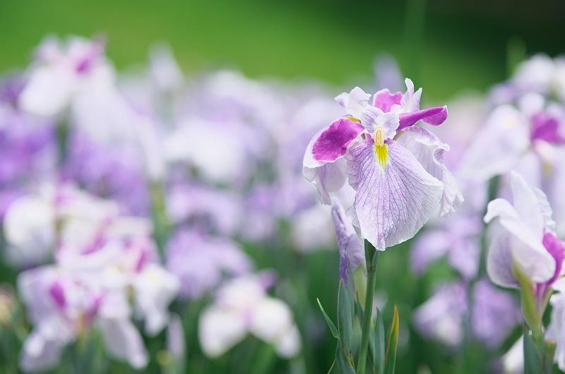花菖蒲と紫陽花の季節 & キリン