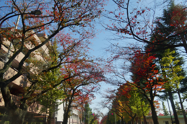 国立の桜並木の紅葉
